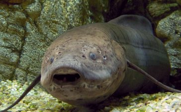 Peștii care dorm ani de zile fără mâncare sau apă ar putea ajuta oamenii de știință să dezvolte o metodă de creștere a șanselor de supraviețuire în timpul operațiilor critice de salvare a unei vieți