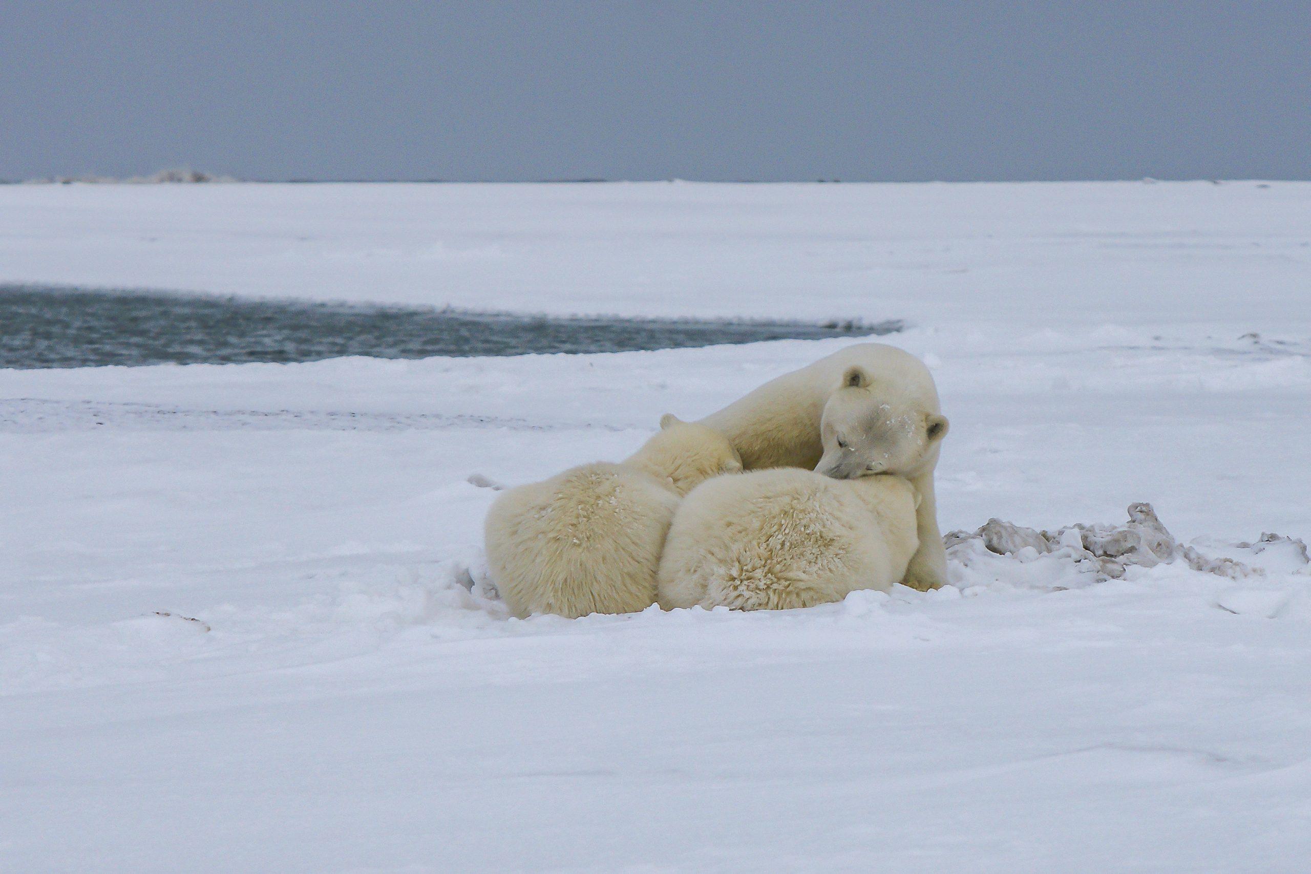 Urșii polari, pe cale de dispariție până la sfârșitul acestui secol! Explicația cercetătorilor | DeStiut.ro